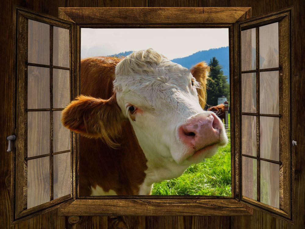 Обои для рабочего стола Открытое окно в которое заглядывает корова