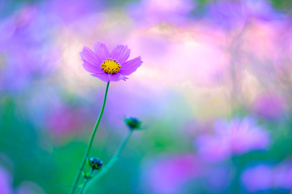Обои для рабочего стола Цветок космеи на размытом фоне, by Hideo N