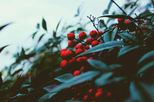 Обои Красные ягоды на кусте