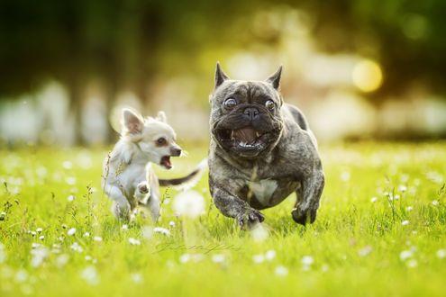 Обои Два счастливых пса играют в траве