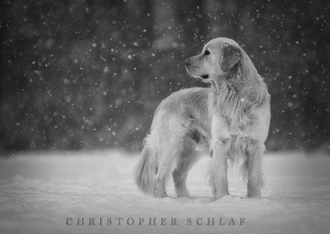 Обои Собака стоит под падающим снегом, фотограф CHRISTOPHER SCHLAF