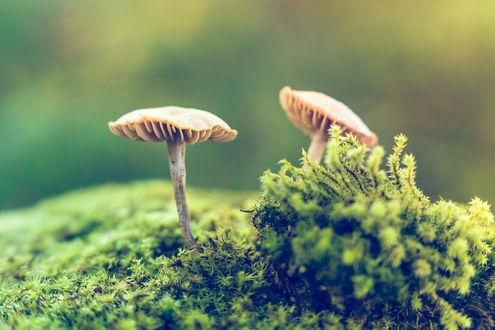 Обои Грибы растут через мох, фотограф Antonio Bernardino