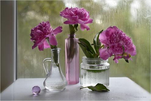 Обои Три пиона стоят в разных по форме вазах, фотограф Шипунова Ирина