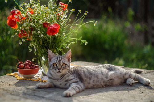 Обои Кошка лежит на полянке с клубникой в тарелке и с маками в вазе, фотограф Лилия Немыкина