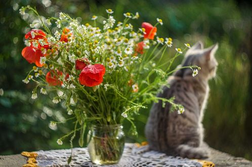 Обои На переднем плане ваза с маками и маленькими ромашками, сзади сидит кошка, фотограф Лилия Немыкина