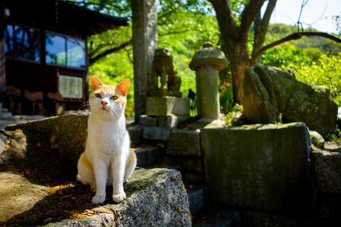 Обои Бело-рыжая кошка сидит на ступенях у храма, Япония / Japan