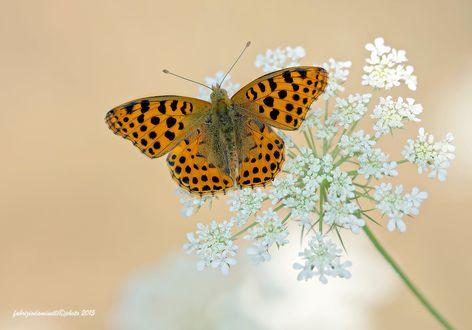 Обои Бабочка на цветке, фотограф fabrizio daminelli