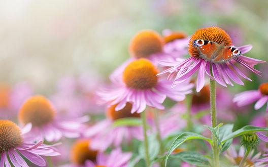 Обои Среди розовых цветков эхинацеи на одном сидит бабочка-павлиний глаз, фотограф Jacky Parker
