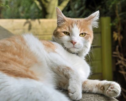 Обои Бело-рыжая кошка развалилась на скамейке