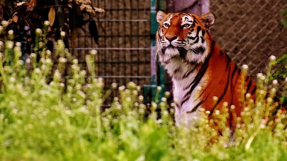 Обои Тигр на фоне размытых зарослей