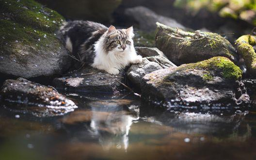 Обои Большой пушистый серо-белый кот сидит на камне возле ручья