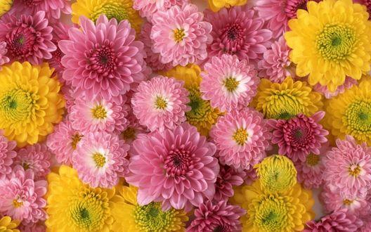 Обои Ковер из желтых и розовых хризантем