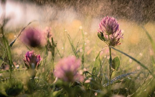 Обои Розовые цветы клевера под дождем