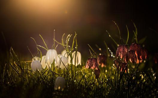Обои Цветы белого и шахматного рябчика в высокой траве, фотограф EglД— LugauskienД