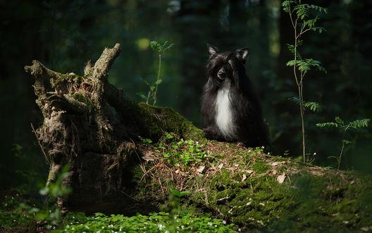 Обои Собака сидит на стволе, упавшего дерева, среди леса, фотограф Анастасия Ветковская