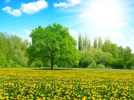Обои Поле, усеянное одуванчиками, под голубым летним небом