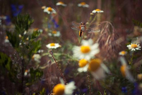 Обои Поле в ромашках, на цветы садится стрекоза
