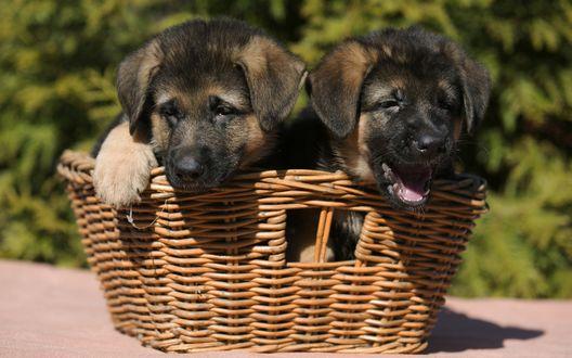 Обои Два милых щенка немецкой овчарки выглядывают из плетеной корзинки