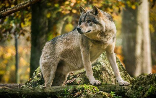 Обои Большой волк стоит в лесу около камня