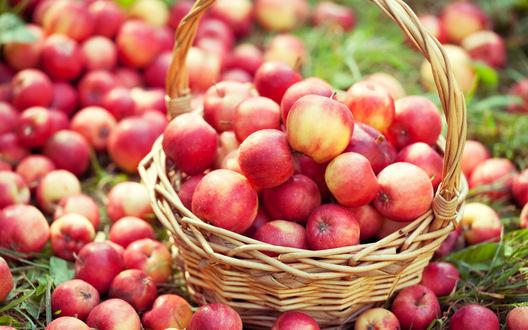 Обои Большая корзина со спелыми красными яблоками, рассыпанными также вокруг