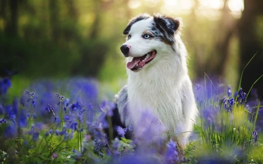 Обои Собака сидит на поляне с синими цветами