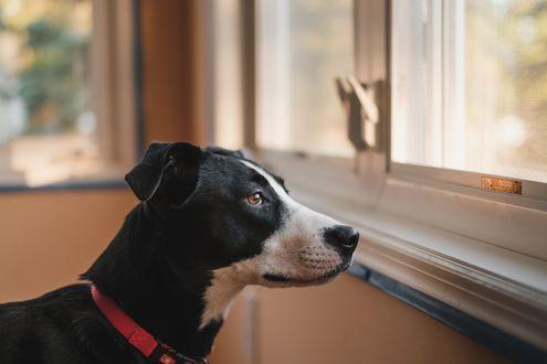 Обои Пес смотрит в окно и ждет кого-то