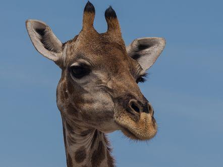 Обои Голова жирафа на голубом фоне