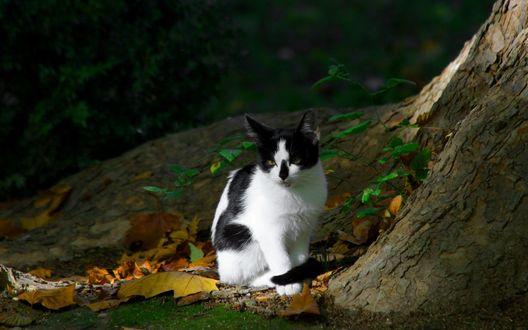 Обои Черно-белая кошка сидит у дерева