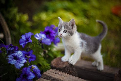 Обои Серый с белыми лапками котенок стоит у цветов, фотограф Коротун Юрий