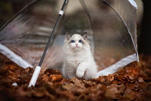Обои Кошка сидит на осенней листве под прозрачным зонтом