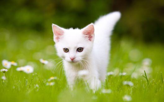 Обои Белый котенок на лугу с ромашками