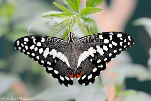 Обои Бабочка на цветке, by Maria-Schreuders