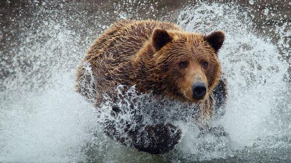 Обои Медведь в воде