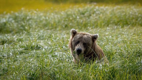 Обои Молодой медведь в высокой траве