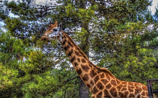 Обои Жираф на фоне дерева