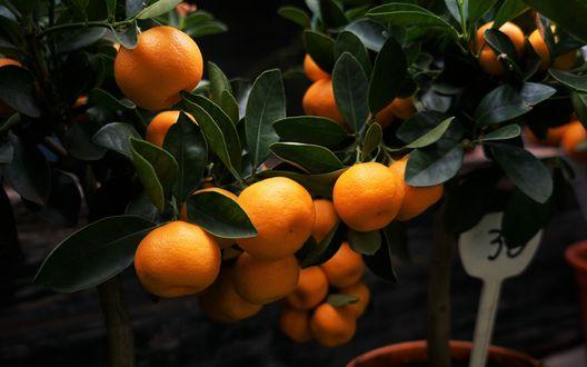 Обои Ветки мандаринового дерева со спелыми плодами