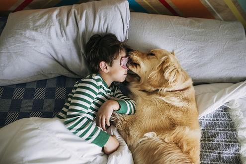 Обои Золотистый ретривер облизывает мальчика, который лежит с ним рядом