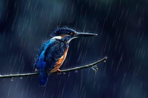 Обои Зимородок сидит на ветке под сильным дождем