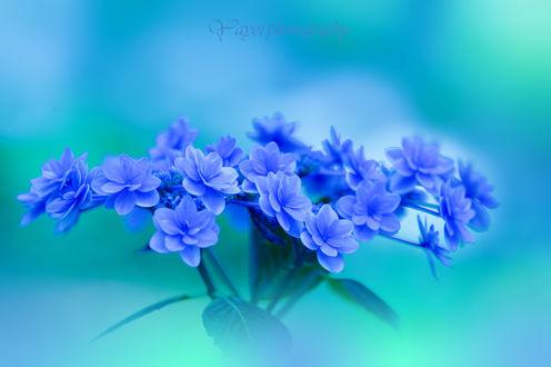 Обои Голубые цветы на голубом фоне. Фотограф Yayoi. Sakurai