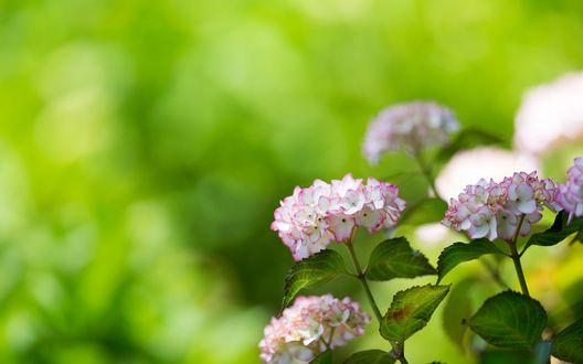 Обои Бело-розовая гортензия на размытом зеленом фоне
