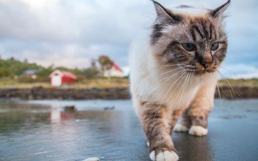 Обои Недовольный голубоглазый кот идет по мокрой дороге крупным планом