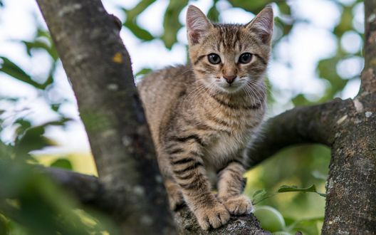 Обои Серый полосатый котенок выглядывает с ветки дерева на размытом фоне