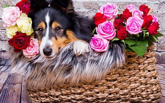 Обои Собака породы шелти лежит в плетеной корзинке с розами