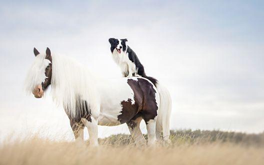 Обои Черно-белая собака породы бордер-колли сидит на спине бело-коричневой лошади с длинной белой гривой