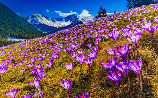 Обои Полянка цветущих альпийских крокусов на фоне заснеженных вершин и ярко-голубого неба