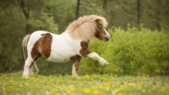 Обои Пони чинно вышагивает по полянке с цветами