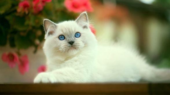 Обои Белый голубоглазый кот породы рэгдолл лежит на фоне цветов