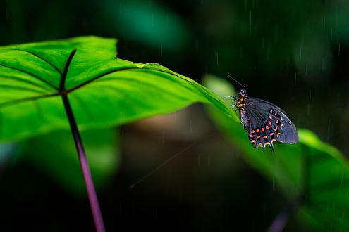 Обои Бабочка сидит на листочке под дождем, by Ulf Bodin