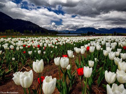 Обои Поле весенних тюльпанов, BC, Canada / Британская Колумбия, Канада, by Ivan Andreevich