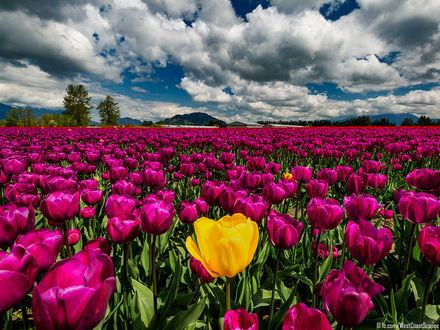 Обои Поле сиреневых с желтым тюльпанов под облачным небом, by IvanAndreevich